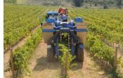 Vendimia a la antigua en Espelt Viticultors 2